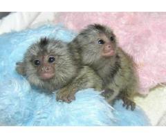 Bella scimmia del marmoset ben addestrato disponibile per l'adozione di Natale