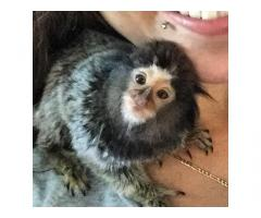 Belle scimmie Marmoset disponibili