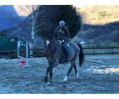 Cavallo zanghersheide 8 anni