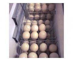 Pulcini e uova sani dello struzzo da vendere