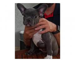 Ultimo cucciolo di bulldog francese blu
