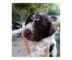 Cuccioli di lagotto romagnolo con pedigree ROI